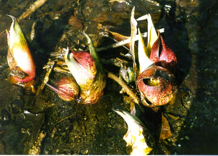 Skunk cabbage flowers in a creek on 'Heritage...Ground, north from Lafayette. Indiana