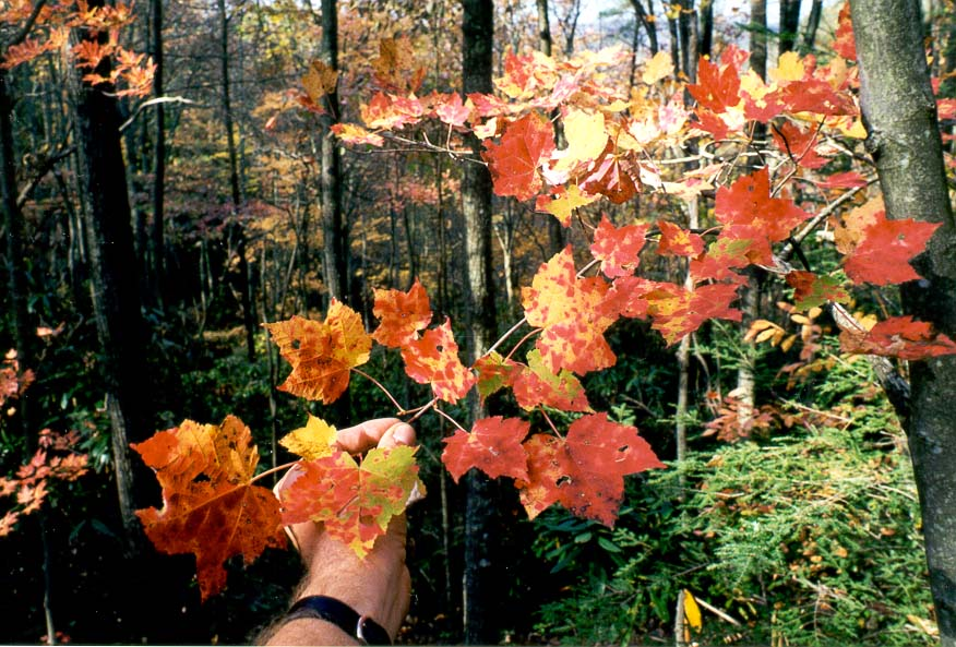 Multicolor maple leaves on Rough Trail. Red River Gorge, Kentucky