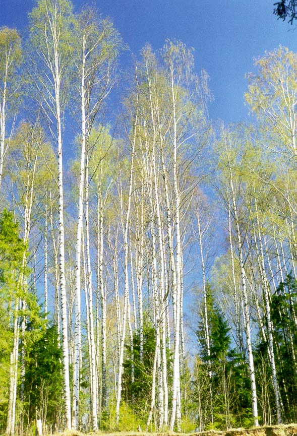 Birches west of Toksovo, 10 miles north of St.Petersburg, Russia