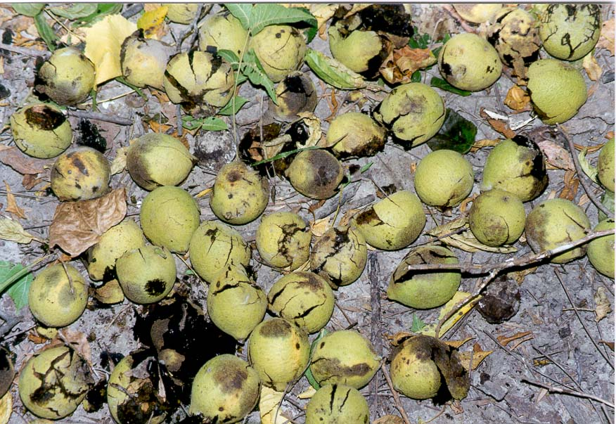 Black walnuts on a trail near Battle Ground, north from Lafayette IN