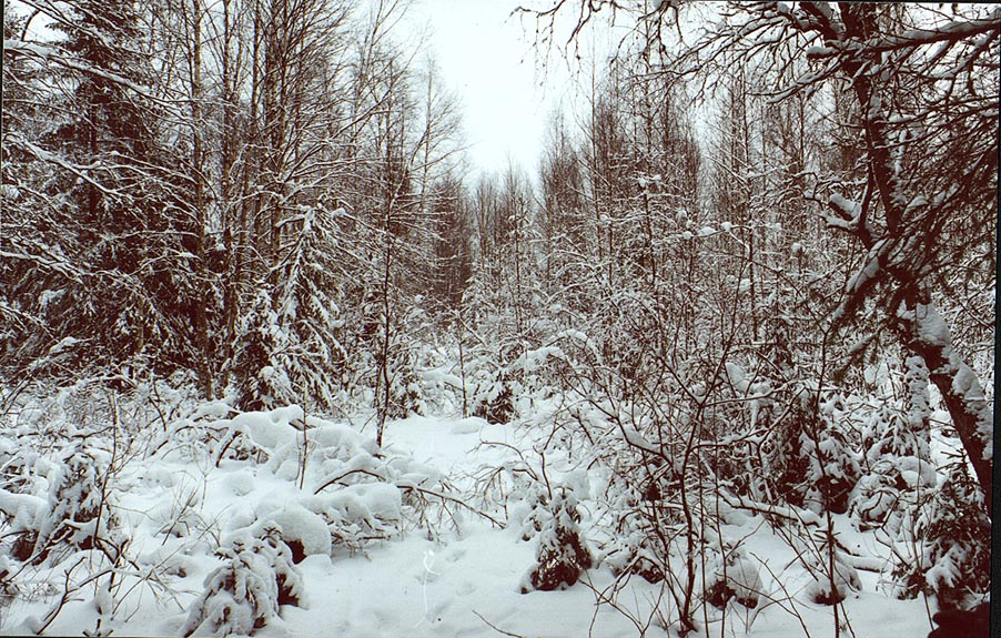 A forest after heavy snow along Kavgolovskoe Lake...miles north from St.Petersburg. Russia