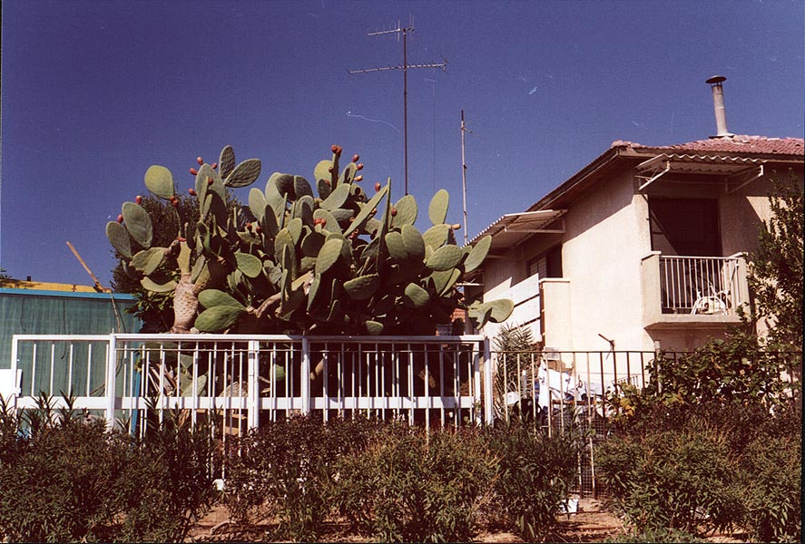 Prickly pears cactus (known as sabra in Israel...Rager and Tuvyahu St.. The Middle East