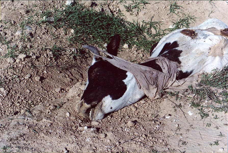 Fallen Bedouin cow in Negev Desert in north-eastern Beer-Sheva. The Middle East