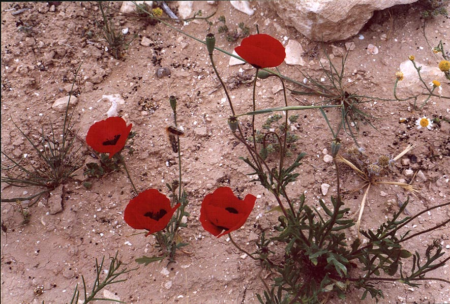 Poppies in Negev Desert 1-2 miles north-east from Beer-Sheva. The Middle East