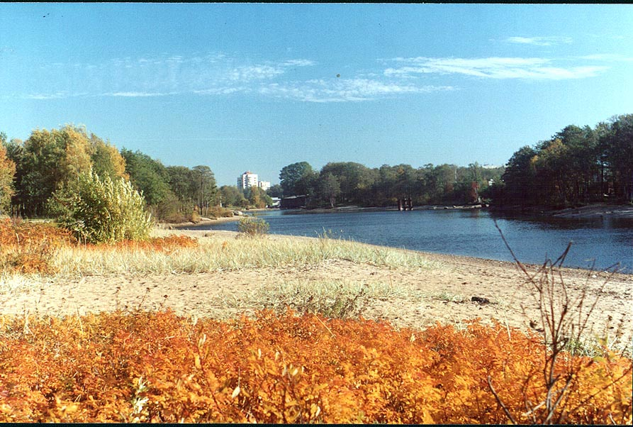 Wild roses on the beach and Sestra River in...west from Sankt Petersburg. Russia