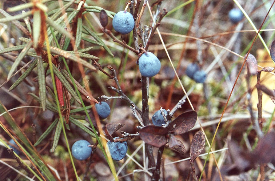 Blueberry in a marsh 5 mile east from Toksovo, 10...north from Sankt Petersburg. Russia