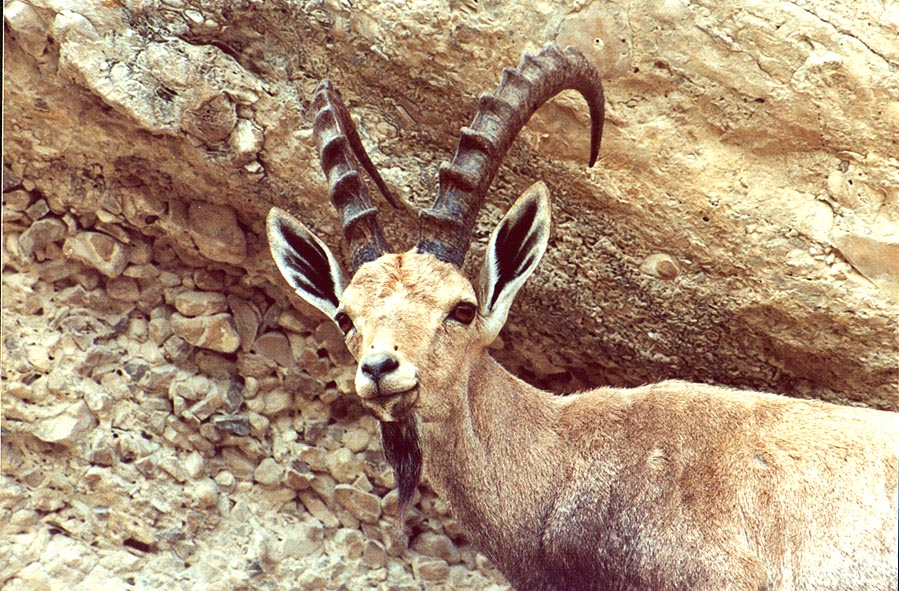An ibex on a trail near Nahal David. Ein Gedi, the Middle East