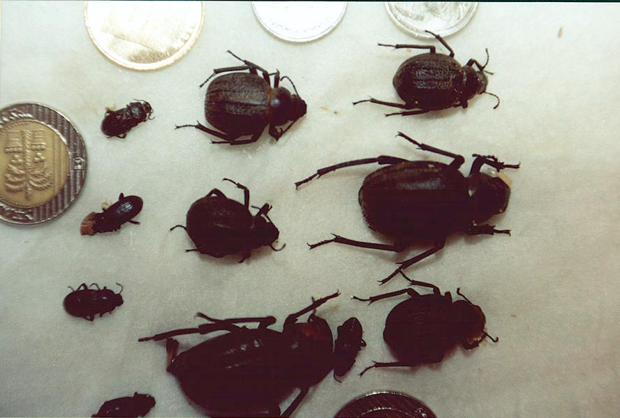 Beetles collected in Negev Desert. The Middle East