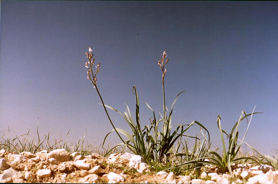 The most common winter flower in Negev Desert...northern Beer-Sheva. The Middle East