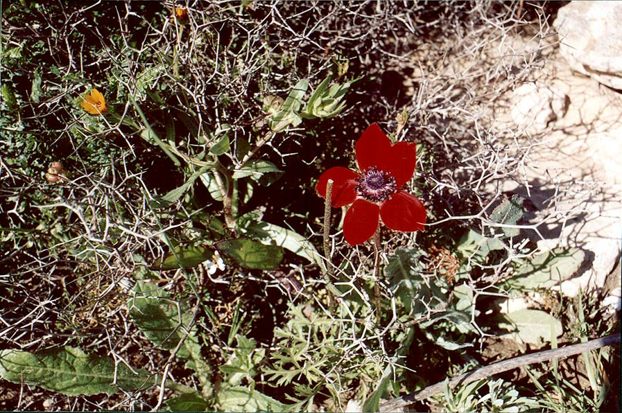 Early red anemone flower in Negev Desert in Givot...north from Beer-Sheva. The Middle East