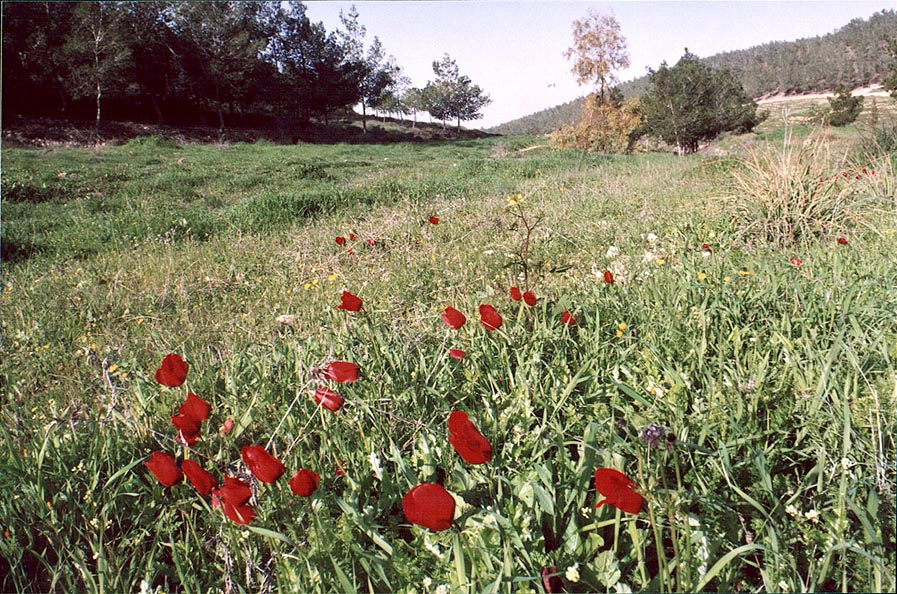 A meadow with red anemones in Lahav forest, 10...north from Beer-Sheva. The Middle East