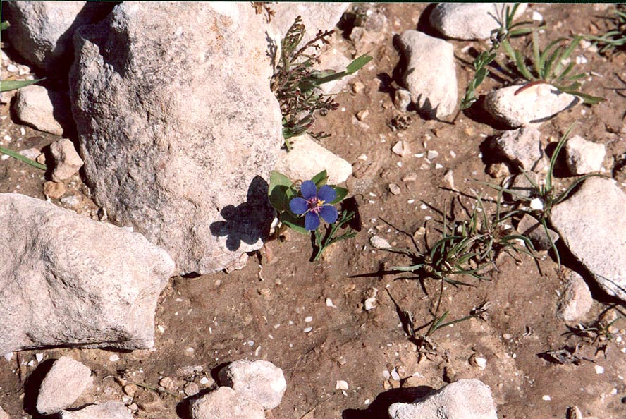 A dwarf flower in Negev Desert in northern Beer-Sheva. The Middle East