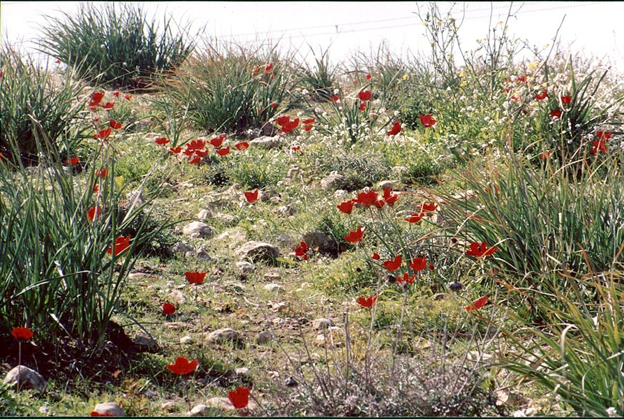 Red anemones and asphodel in Negev Desert in northern Beer-Sheva. The Middle East