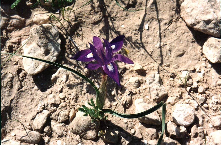A dwarf iris in Negev Desert on a trail...to Yeroham reservoir. The Middle East