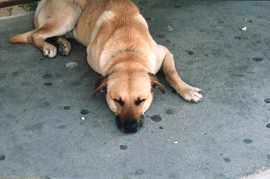 A stray dog sleeping at the bus stop at Ben Gurion Blvd.. Beer-Sheva, the Middle East