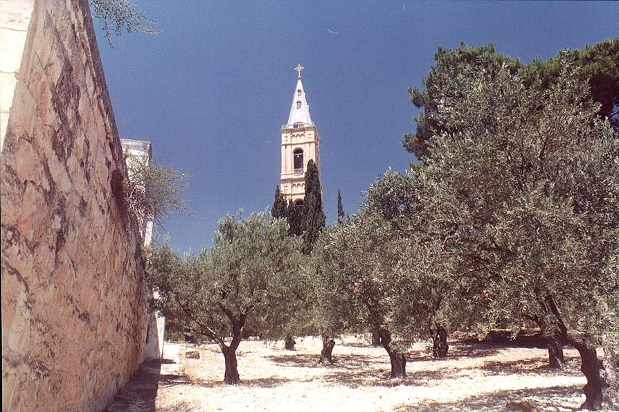 An olive garden in Tur Malka Russian monastery on...of Olives. Jerusalem, the Middle East