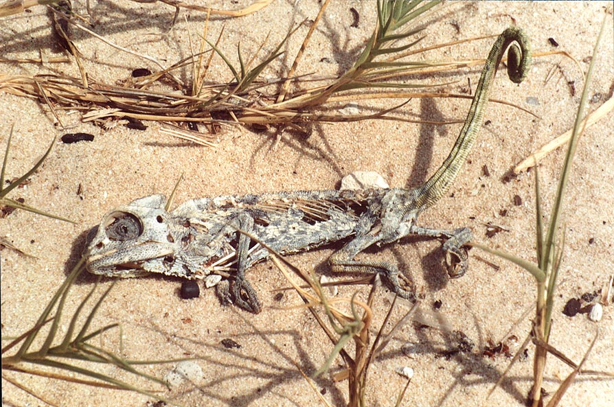 Dried chameleon in dunes of Nizzanim. The Middle East