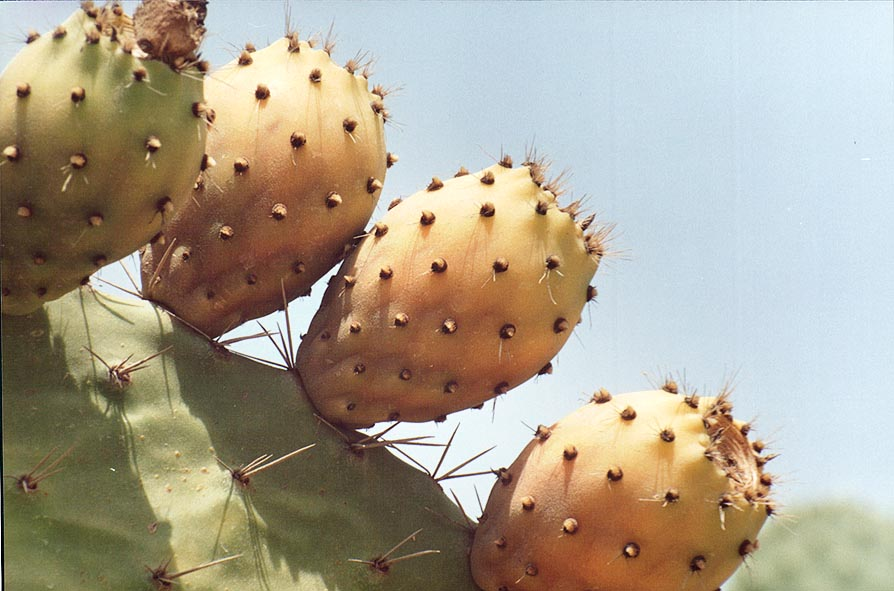 Prickly pears (sabra) cactus on the roadside in Nizzanim. The Middle East