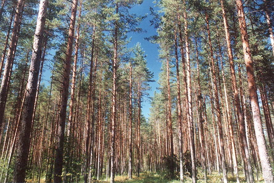 Pine forest in Posiolok, 50 miles south from St.Petersburg. Russia