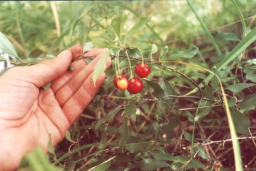 Wild cherry in a birch grove near Korkino in southern Ural. South from Cheliabinsk, Russia