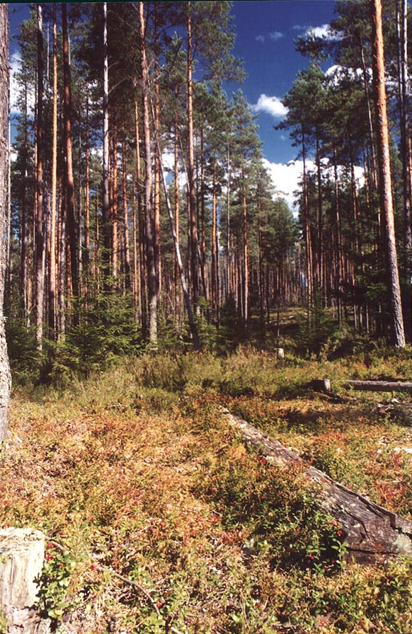 Cow berry in a cutting in a pine forest 2 miles...miles north from St.Petersburg. Russia