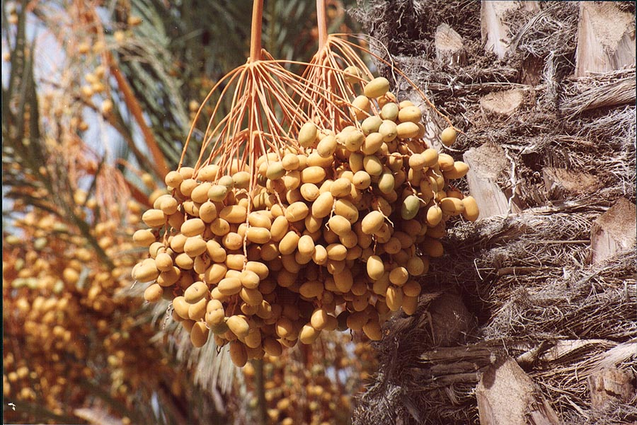 A date palm in BGU. Beer-Sheva, the Middle East