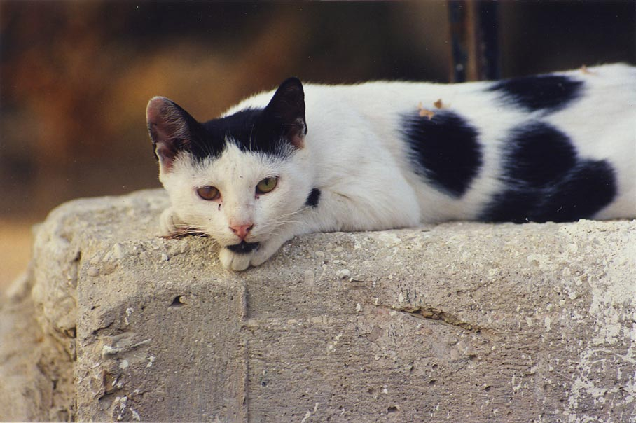 A waked cat resting on a concrete wall in...Beer-Sheva, the Middle East