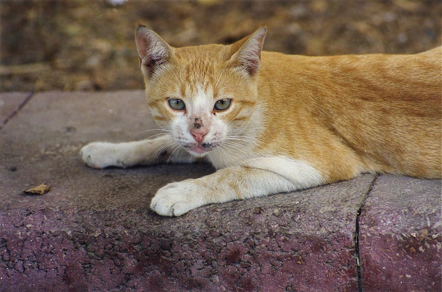 A cat resting at evening at Nili St. in Shekhuna...Beer-Sheva, the Middle East