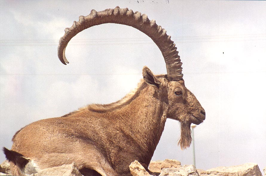 An ibex near Camel Hill in Mitzpe Ramon. The Middle East