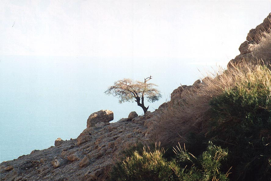 An acacia near En Shulamit spring in Ein Gedi...Sea at background. The Middle East