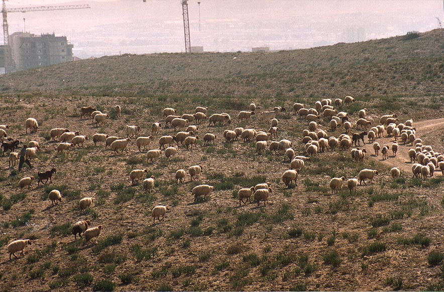 Grazing sheep in Ramot area in northern Beer-Sheva. The Middle East