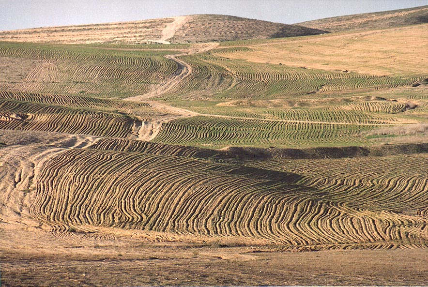 Illegal Bedouin crops in Negev Desert 2 miles north from Beer-Sheva. The Middle East