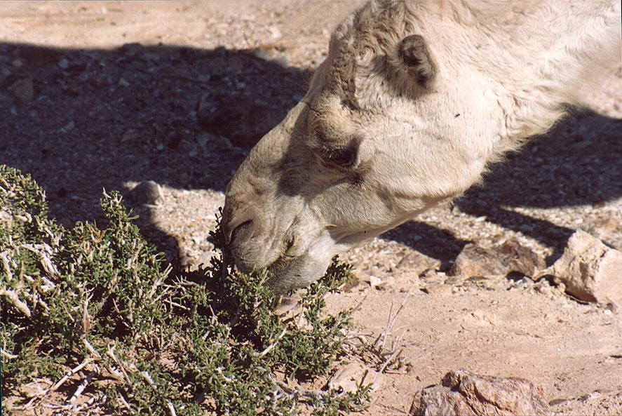 Close up of a grazing camel in Judean Desert 1.5 miles south from Masada. The Middle East