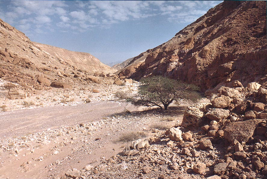 Acacia in Nahal Shani wadi approaching Nahal...north from Eilat. The Middle East