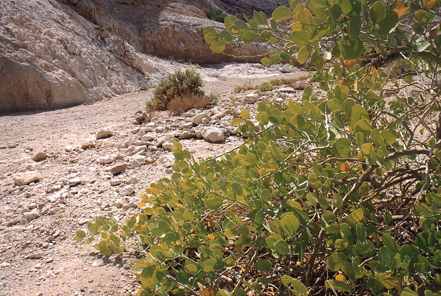 A bush on a side of Nahal Shehoret wadi 5 miles north from Eilat. The Middle East