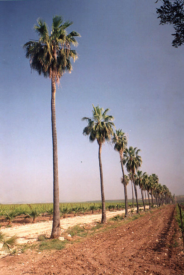 Palms behind Hulda memorial, west from Jerusalem. The Middle East