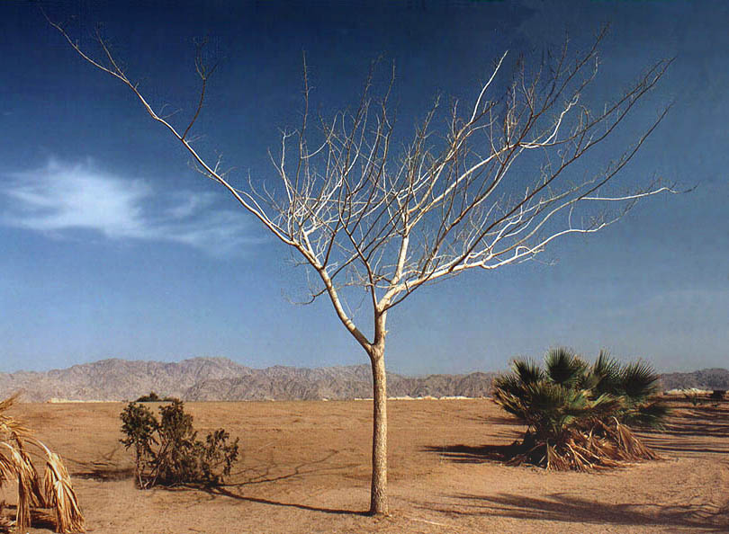 A tree in a park on a beach of a lagoon of the...behind Eilat hotels. The Middle East