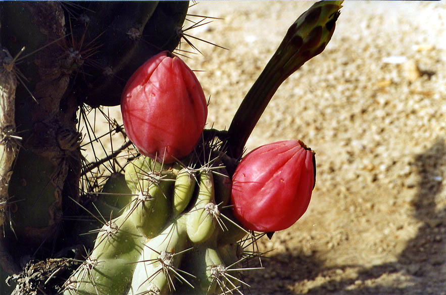 Cactus with edible fruits at Ben Gurion Blvd.. Beer-Sheva, the Middle East