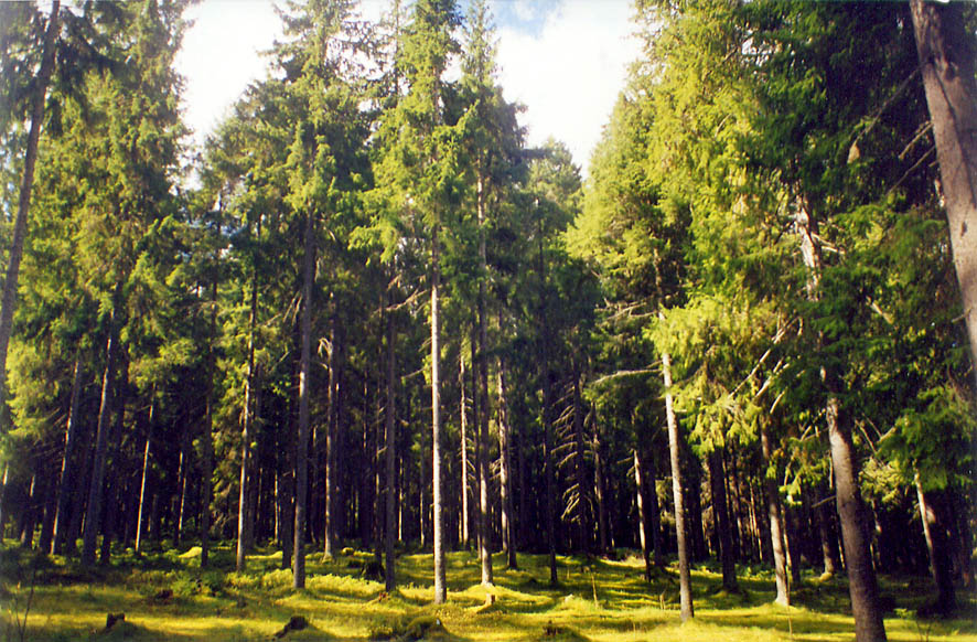 Fir forest near 67-th km train station in...miles north from St.Petersburg. Russia