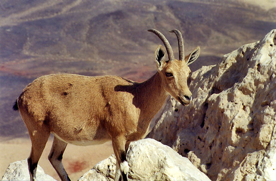 An ibex near Eilat Rd. on the edge of Ramon Crater. The Middle East