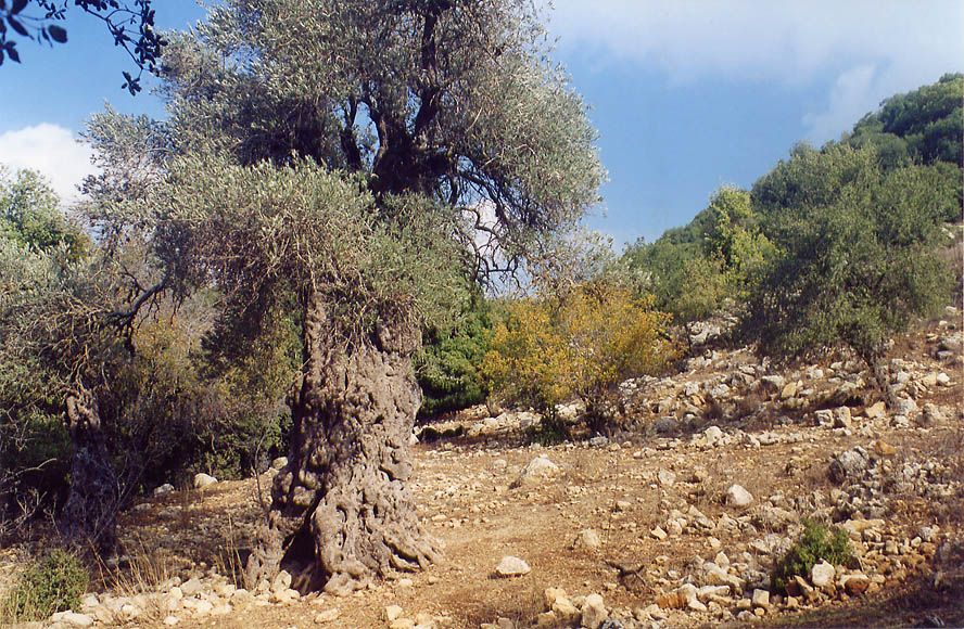 Old olive tree on a slope of Mount Meron in Galilee. The Middle East