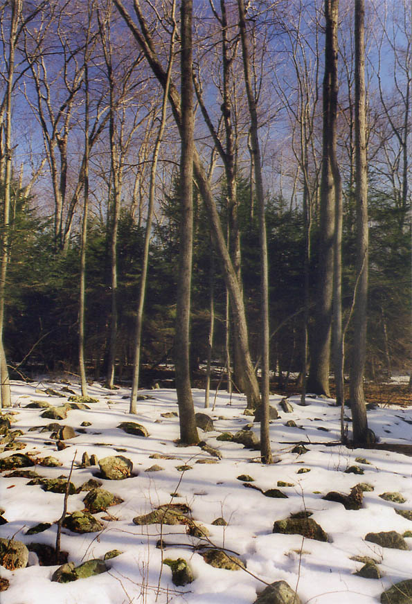 Field of stones in a forest at Tattapanum Trail...east from Fall River. Massachusetts