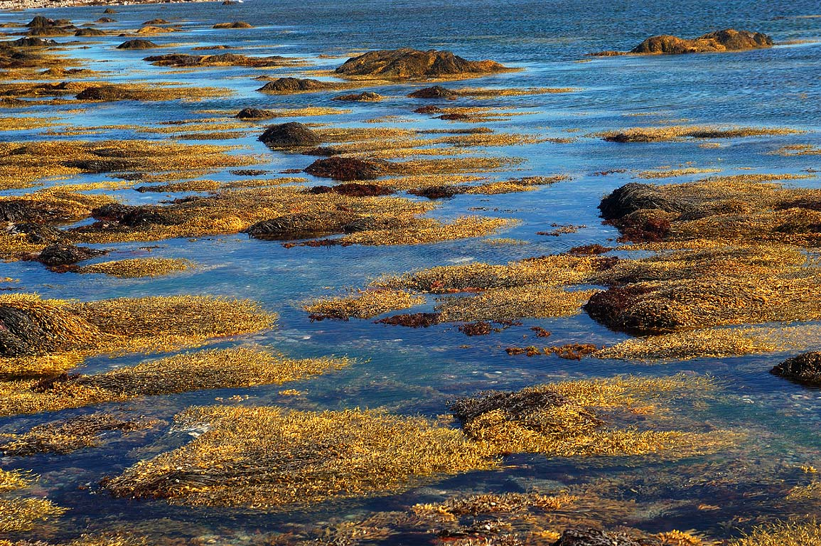 Rockweed at low tide on Gooseberry Neck. Westport, Massachusetts