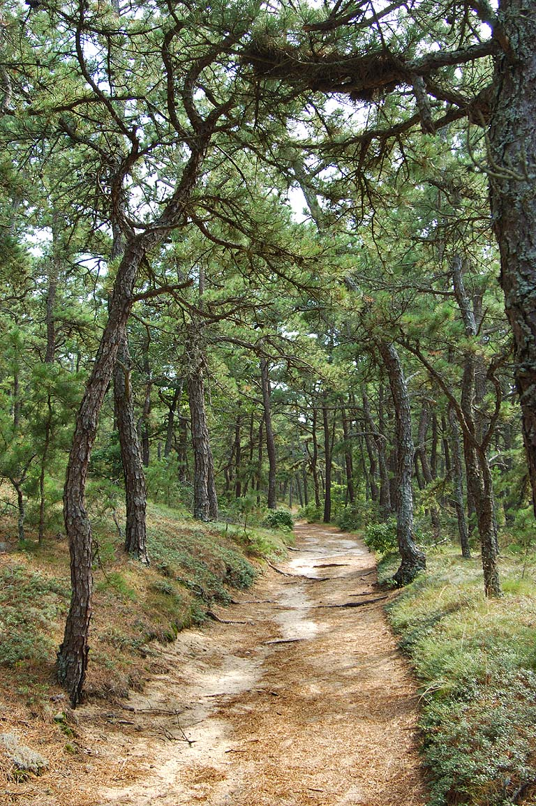 A trail through pitch pine forest in Great Island...in Cape Cod. Wellfleet, Massachusetts