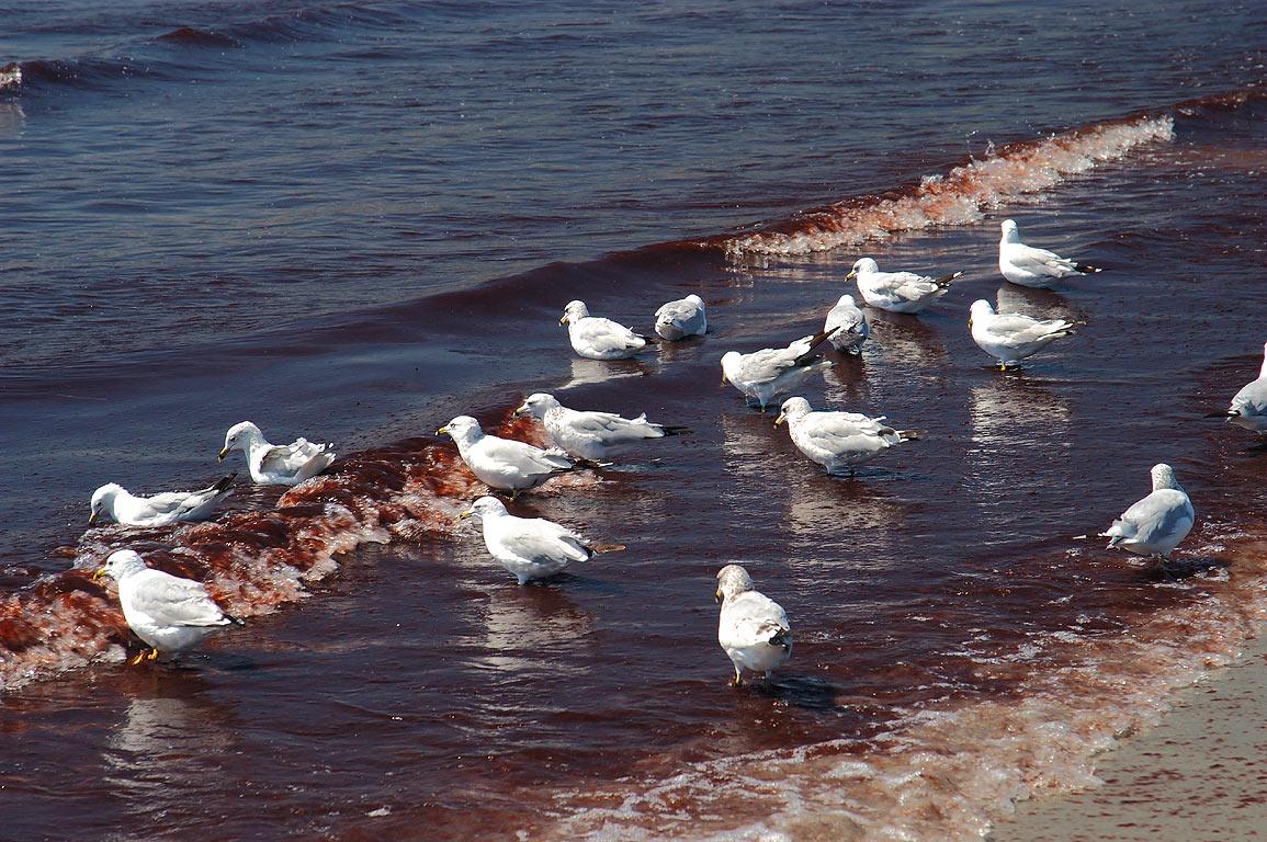 Red algae and gulls at eastern end of Bailey...s Beach) in Newport. Rhode Island
