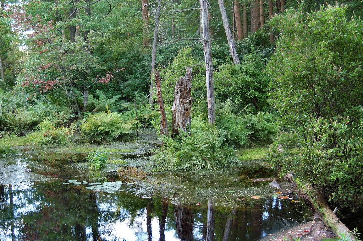 A swamp in Freetown-Fall River State Forest from Bell Rock Rd.. Massachusetts