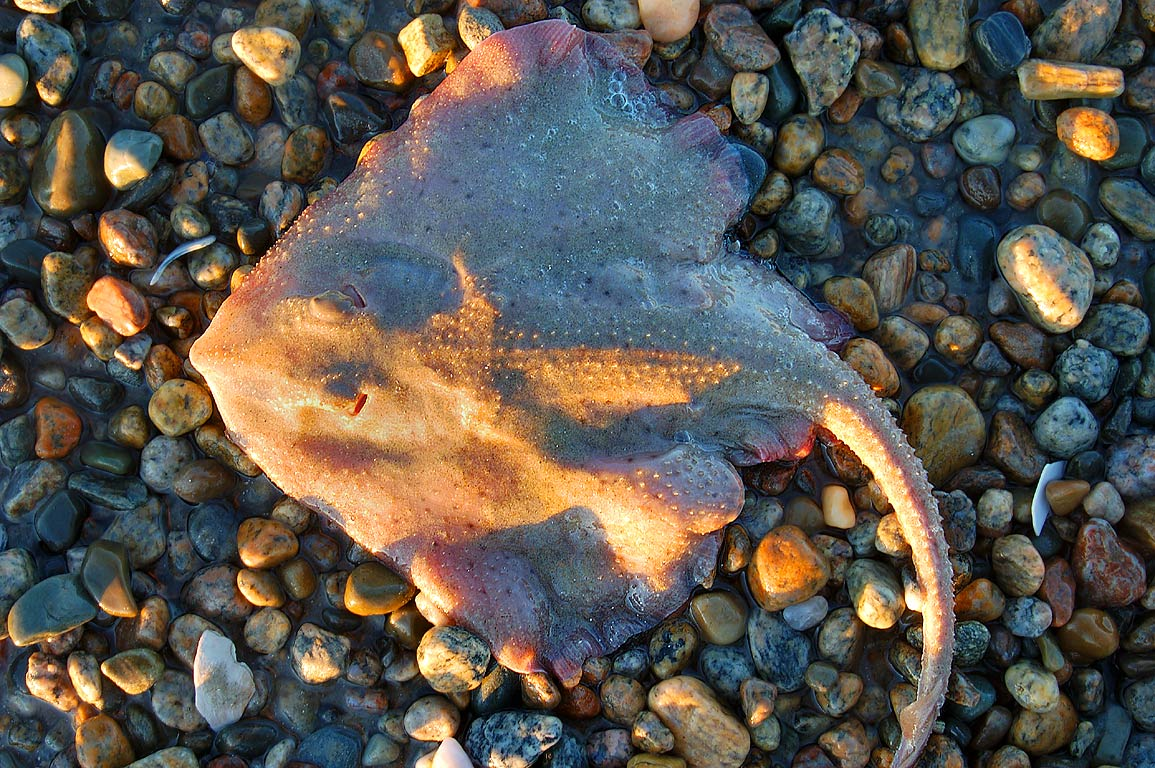 Ray fish on Horseneck Beach. Westport, Massachusetts