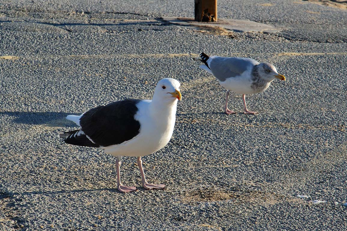 Gulls on a parking place of Herring Cove Beach in Cape Cod. Provincetown, Massachusetts