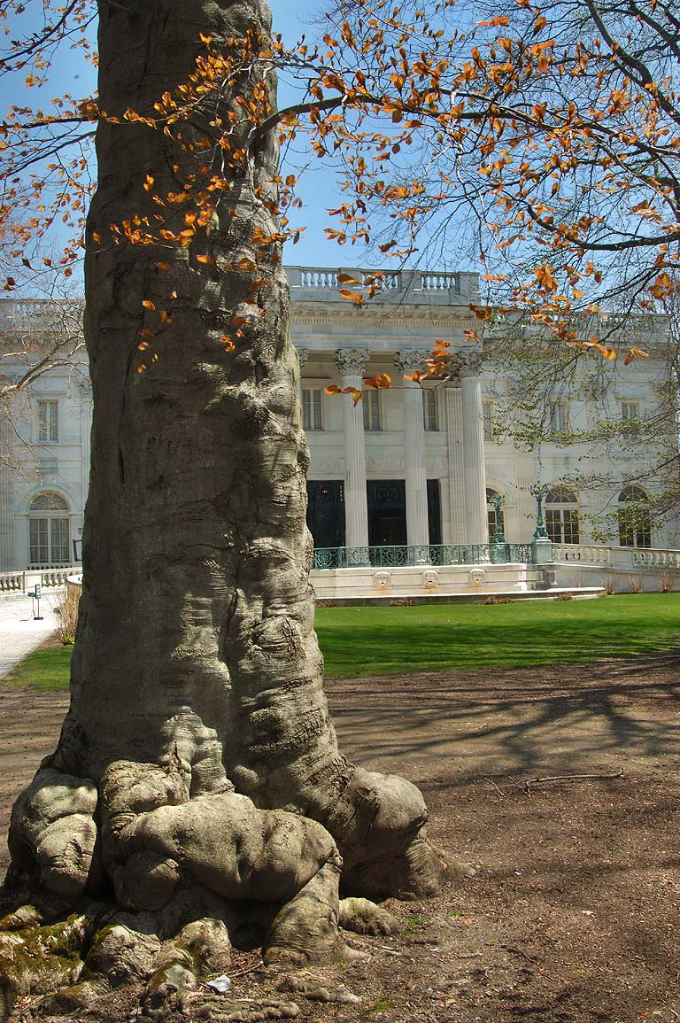 A trunk of copper beech tree and Marble House...Bellevue Ave.. Newport, Rhode Island