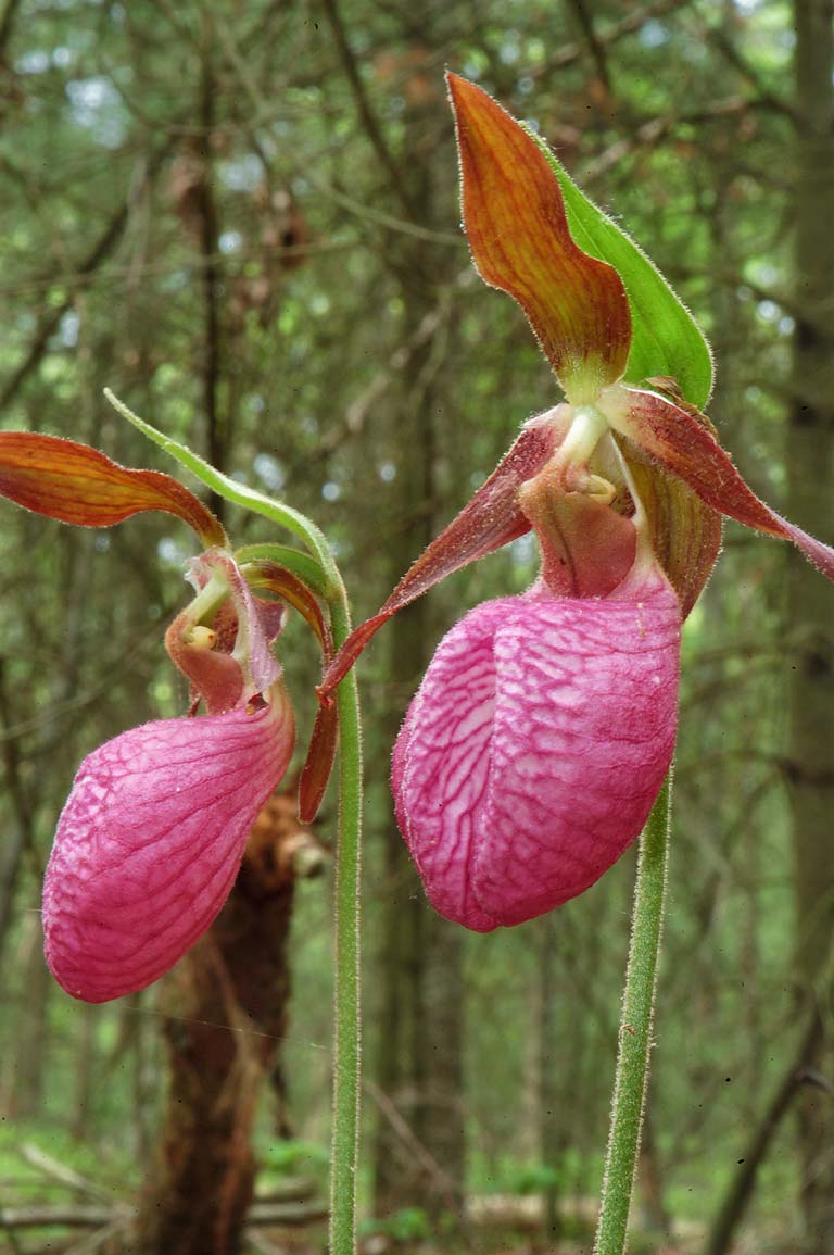 Pink lady slipper flowers in Massasoit State Park. East Taunton, Massachusetts